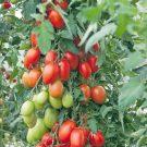 PROFI, Zelenina SEMO – Rajče tyčkové Blumko, p3274