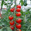 PROFI, Zelenina SEMO – Rajče tyčkové Bibi, p3276