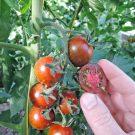 PROFI, Zelenina SEMO – Rajče tyčkové Tigrino, p3284