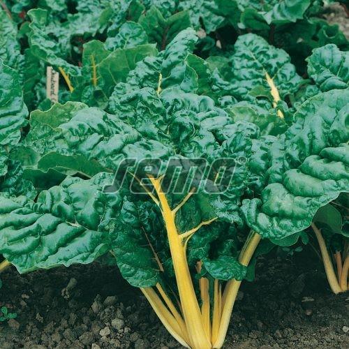 PROFI, Zelenina SEMO - Mangold Bright Yellow F1, p4906 (Beta vulgaris L. var. vulgaris)
