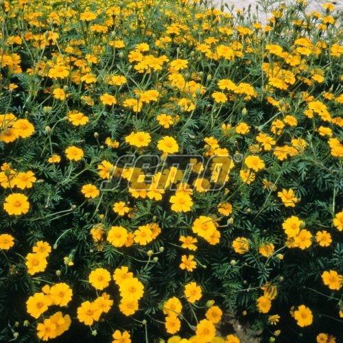 PROFI, Polní plodiny a ostatní - Aksamitník Ground Control, p9518 (Tagetes patula)