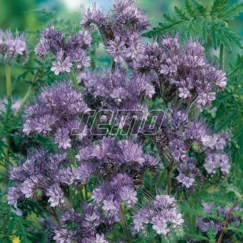 PROFI, Polní plodiny a ostatní - Svazenka shloučená Fiona, p9949 (Phacelia congesta)