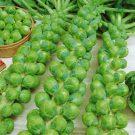 PROFI, zelenina semo - Kapusta růžičková, p1500 (Brassica oleracea L. convar. oleracea var gemmifera DC.)