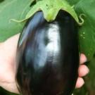 PROFI, Zelenina SEMO - Lilek vejcoplodý, p1900 (Solanum melongena L.)