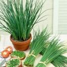 PROFI, Zelenina SEMO - Pažitka pravá, p2800 (Allium schoenoprasum L.)