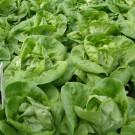 PROFI, Zelenina SEMO - Salát hlávkový, p3700 (Lactuca sativa L.)
