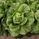 PROFI, Zelenina SEMO - Salát římský, p3800 (Lactuca sativa L.)