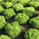 PROFI, Zelenina SEMO - Salát listový, p3850 (Lactuca sativa L. var. capitata L.)