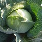 PROFI, Zelenina SEMO - Zelí hlávkové, p4200 (Brassica oleracea L. convar.capitata (L.) Alef. var. alba DC.)