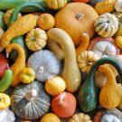 PROFI, zelenina semo - Tykev okrasná, p9200 (Cucurbita pepo)