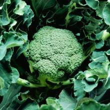 PROFI, Zelenina TAKII - Brokolice Volta F1, p0217 (Brassica oleracea L. convar. botrytis (L.) Alef. var. cymosa Duch.)