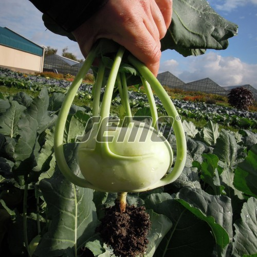 PROFI, Zelenina TAKII - Kedluben Verano F1 (03-171), p0337 (Brassica oleracea L. convar. acephala (DC) var. gongylodes)