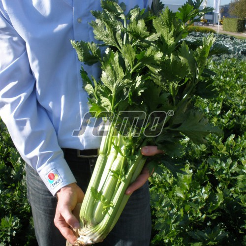 PROFI, Zelenina TAKII - Celer řapíkatý Darklet F1, p0445 (Apium graveolens L. var.dulce (Mill.) Pers.)