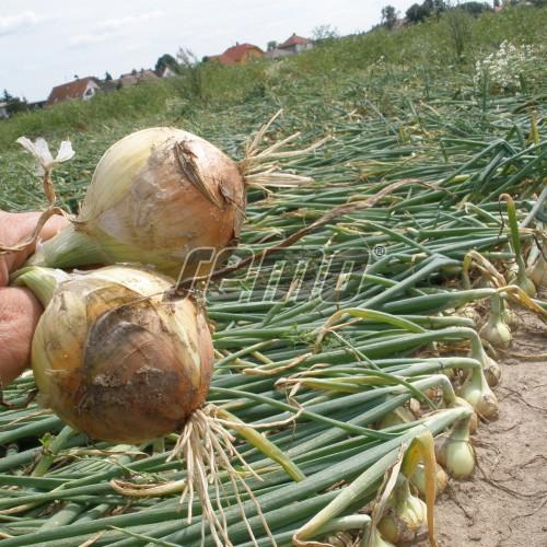 PROFI, Zelenina TAKII - Cibule kuchyňská Takmark F1, p0542 (Allium cepa L.)