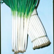 PROFI, Zelenina TAKII - Cibule na svazkování Feast, p0543 (Allium fistulosum L.)