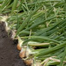 PROFI, Zelenina TAKII – Cibule kuchyňská Medusa F1, p0545