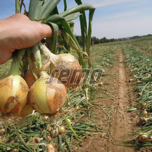 PROFI, Zelenina TAKII - Cibule kuchyňská Bonus F1, p0546 (Allium cepa L.)