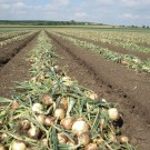 PROFI, Zelenina TAKII – Cibule kuchyňská Bonus F1, p0546