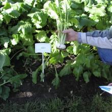 PROFI, Zelenina TAKII - Vodnice japonská Oasis F1, p4125 (Brassica rapa L. var. rapa)