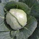 PROFI, Zelenina TAKII – Zelí hlávkové Prestar F1, p4253