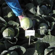 PROFI, Zelenina TAKII - Zelí hlávkové Unico F1, p4254 (Brassica oleracea L. convar.capitata (L.) Alef. var. alba DC.)