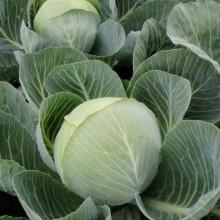 PROFI, Zelenina TAKII - Zelí hlávkové Storka F1, p4255 (Brassica oleracea L. convar.capitata (L.) Alef. var. alba DC.)