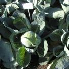 PROFI, Zelenina TAKII – Zelí hlávkové Storka F1, p4255