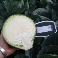 PROFI, Zelenina TAKII - Zelí hlávkové Valita F1, p4256 (Brassica oleracea L. convar.capitata (L.) Alef. var. alba DC.)