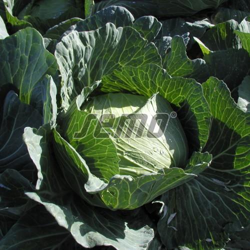 PROFI, Zelenina TAKII - Zelí hlávkové Green Lunar F1, p4262 (Brassica oleracea L. convar.capitata (L.) Alef. var. alba DC.)