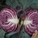 PROFI, Zelenina TAKII – Zelí hlávkové Ruby King F1, p4322