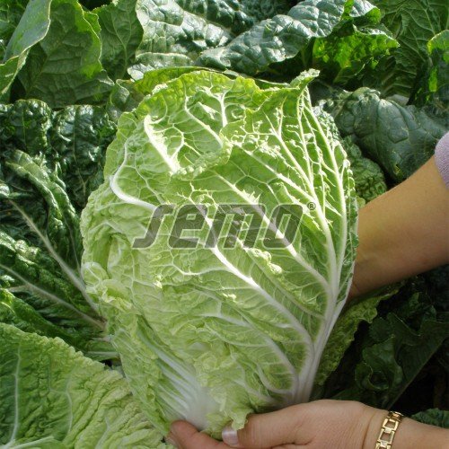 PROFI, Zelenina TAKII - Zelí pekingské Parkin F1, p4405 (Brassica rapa L. var. rapa L.)