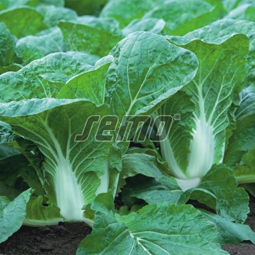 PROFI, Zelenina TAKII - Zelí pekingské Preduro F1, p4418 (Brassica rapa L. var. rapa L.)