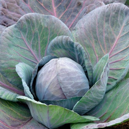 PROFI, Zelenina TAKII - Zelí hlávkové Ruby Charm F1, p4323 (Brassica oleracea L. convar.capitata (L.) Alef. var. alba DC.)
