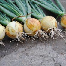 PROFI, Zelenina TAKII - Cibule ozimá Senshyu Yellow, p0578 (Allium fistulosum L.)