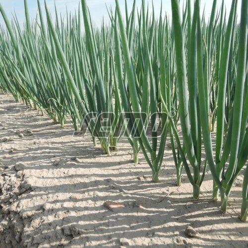 PROFI, Zelenina TAKII - Cibule na svazkování Etappe F1, p0596 (Allium cepa L.)