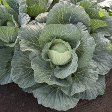 PROFI, Zelenina TAKII - Zelí hlávkové Vertex F1, p4264 (Brassica oleracea L. convar.capitata (L.) Alef. var. alba DC.)