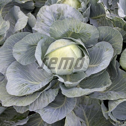 PROFI, Zelenina TAKII - Zelí hlávkové Coronata F1, p4265 (Brassica oleracea L. convar.capitata (L.) Alef. var. alba DC.)