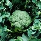 PROFI, Zelenina TAKII, Brokolice, p0200 (Brassica oleracea L. convar botrytis (L.) Alef. var. cymosa Duch.)