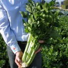 PROFI, Zelenina TAKII, Celer řapíkatý, p0400 (Apium graveolens L.)