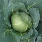 PROFI, Zelenina TAKII, Zelí hlávkové, p4200 (Brassica oleracea L. convar.capitata (L.) Alef. var. alba DC.)