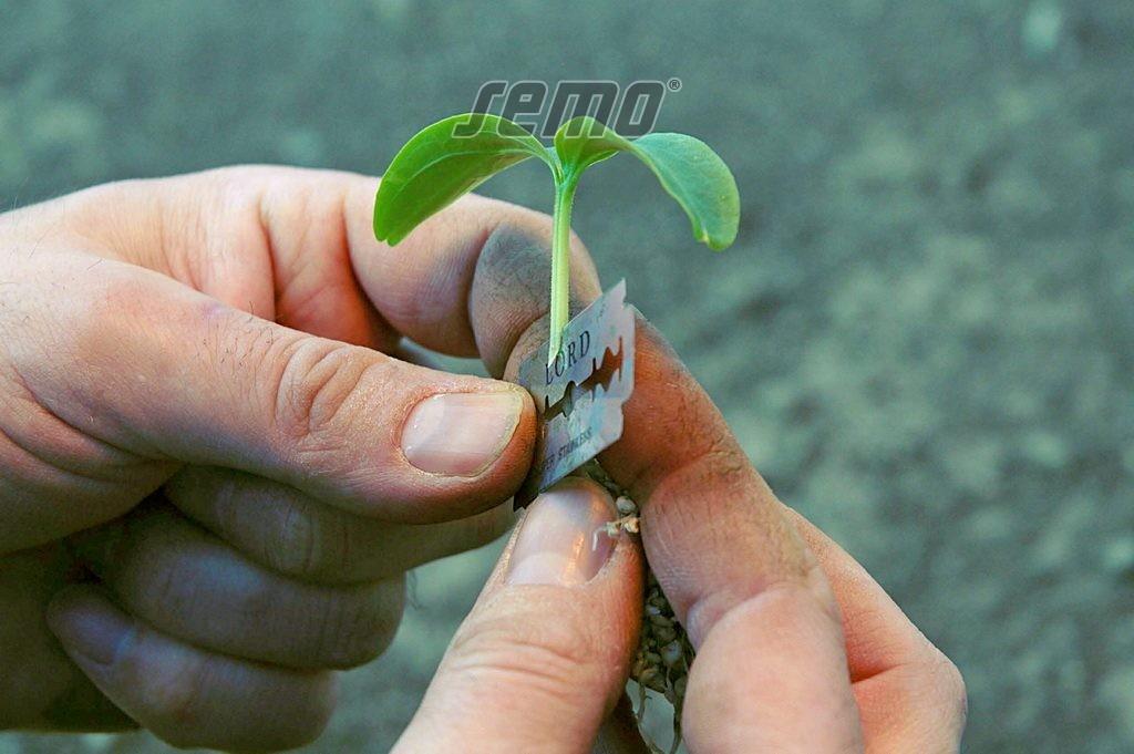 SEMO - roubování okurek