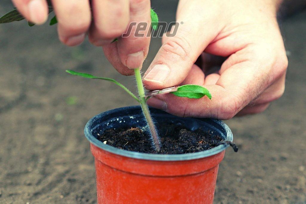 SEMO - roubování rajčat